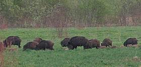 Mežacūku bariņš Zušulīča teritorijā.